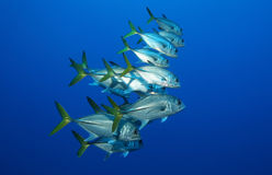 School of silver fish in the blue. A medium school of horse eye jacks (Caranx latus) swim together in tropical blue water Royalty Free Stock Images