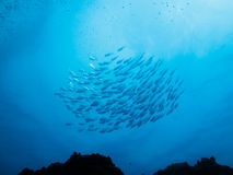 School of silver fish swimming on coral reef royalty free stock photos