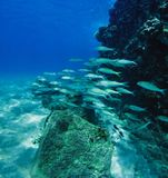 School of Silver Fishes in Maui Hawaii royalty free stock photo