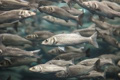 School of Silver Gray Fish Royalty Free Stock Photography