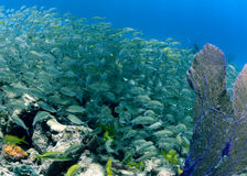 School of silver grunts or tropical fish. Underwater in ocean Royalty Free Stock Photos