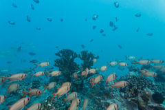 School of silver and white fish swimming above branching coral in reef in tropics Stock Image