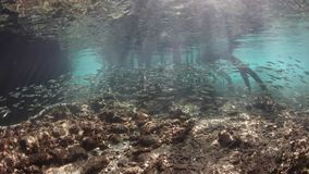 School of Silversides and Mangrove in Raja Ampat. Bright silversides swim in the shallows at the edge of a blue water mangrove in Raja Ampat, Indonesia. This stock video
