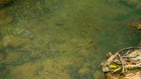 The fish swim in a shallow stream of a creek in te sun rays in the rainforest. A school of silvery fish swim in a shallow stream of a creek in te sun rays in the stock footage