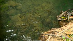 The fish swim in a shallow stream of a creek in te sun rays in the rainforest. A school of silvery fish swim in a shallow stream of a creek in te sun rays in the stock video footage