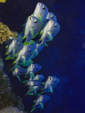 School of silvery fish underwater. School of silvery fish swimming in blue waters Royalty Free Stock Photos