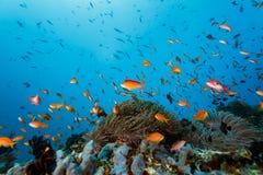 School of clown fish stock illustration illustration of for Little fish swim school