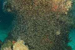 School of small fish around corral Royalty Free Stock Photo