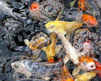 School of small koi fish. Japanese carp, surfacing in a feeding frenzy in a fresh water pond Stock Image