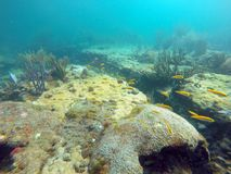 School of small yellow fish swimming among hard and soft corals Royalty Free Stock Photography