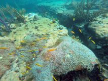School of small yellow fish swimming among hard and soft corals Stock Images