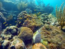 School of small yellow fish swimming among hard and soft corals Royalty Free Stock Image