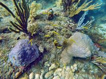 School of small yellow fish swimming among hard and soft corals Stock Photo
