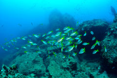School snapper fish Royalty Free Stock Photo