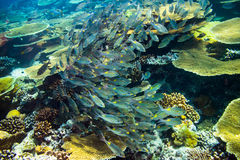 School of snapper fishs on coral reef Stock Photography