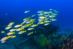 School of snapper near a wreck Royalty Free Stock Photography