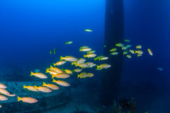 School of snapper underwater. Snapper swim around the legs of a disused oilrig Stock Photography