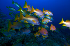 School of snappers, Cayo Largo, Cuba Royalty Free Stock Image