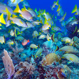 School of Snappers, Cayo Largo, Cuba Stock Photos