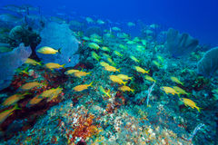School of Snappers, Cayo Largo, Cuba Stock Photo