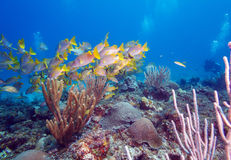 School of Snappers, Cayo Largo Royalty Free Stock Photo
