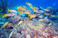 School of Snappers, Cayo Largo Royalty Free Stock Photography