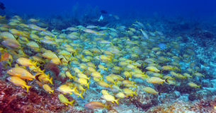 School of Snappers, Cayo Largo Stock Images
