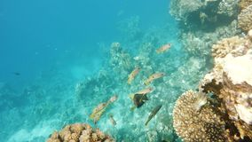 School of snappersfish on coral in red sea, Egypt stock footage