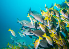 School of snappers swimming away. Royalty Free Stock Photo