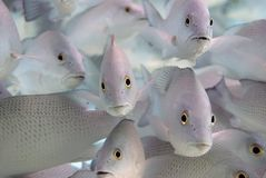 School of Snappers stock photo