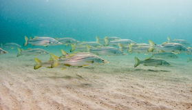 A school of Snook fish under a pier Royalty Free Stock Images