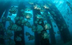 school spadefish fotografering för bildbyråer