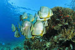 School of Spadefish Royalty Free Stock Images