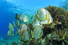 School of Spadefish Stock Image
