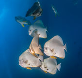 School of Spadefish underwater Royalty Free Stock Images