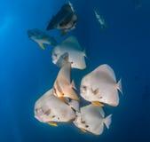 School of Spadefish underwater Royalty Free Stock Images