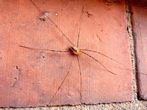 School spider. Long legged spider resting in the sunshine on the school wall Stock Photo