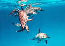 School of spinner dolphins Stock Image