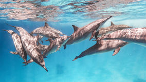 School of spinner dolphins. Wild spinner dolphins in the coral reef Stock Photo