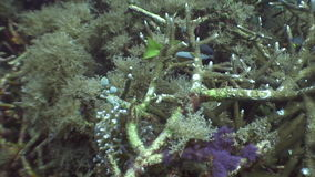 School of spotted fish underwater in ocean of wildlife Philippines. stock video footage