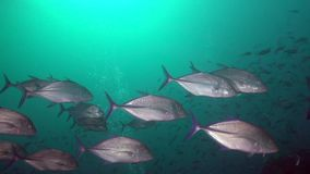School of Spotted trevally Carangoides fulvoguttatus in Red sea stock video footage