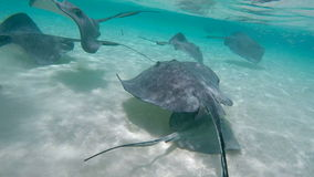 A school of stingrays swimming in shallow water. A close up underwater shot of a colony of stingray swimming in the crystal clear turquoise shallow water in stock footage