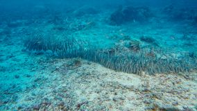 A school of striped eel catfish Plotosus lineatus moving at the sea floor for looking for food near Mangroves stock photography