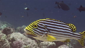 School of striped fish on background corals underwater in sea of Maldives. stock video footage
