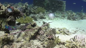 School of striped fish underwater on background marine landscape in Red sea. stock video