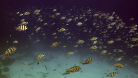 School of striped fish underwater on background marine landscape in Red sea. stock video footage