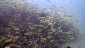 School of striped fish underwater in ocean of wildlife Philippines. Soft corals underwater in ocean of wildlife Philippines. Deep extreme diving. Travel in stock footage