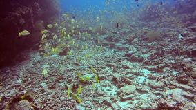 School of striped snapper yellow fish on background of clear seabed underwater. stock video