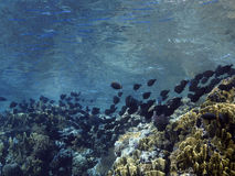 School of surgeon fish. In the red sea Royalty Free Stock Photos