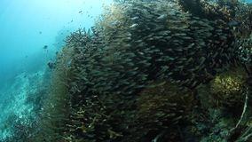 School of Sweepers in Raja Ampat. A thick school of sweepers hovers on a healthy coral reef in Raja Ampat, Indonesia. This remote, tropical region is famous for stock video